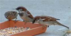sparrows bird picture