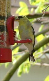 american goldfinch bird photo