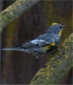 yellow-rumped audubon's warbler photo