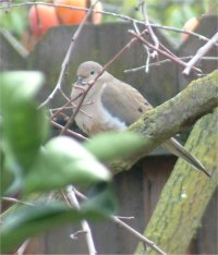 mourning dove bird picture
