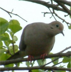 pictures of wild doves