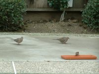 Dove and sparrows bird picture
