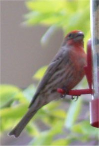 red finch photo