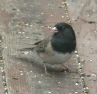 junco bird picture