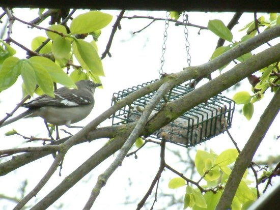 northern mockingbird perches to eat suet photo