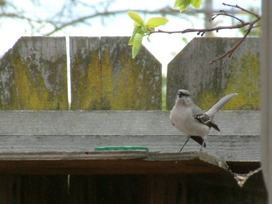 northern mockingbird guarding photo
