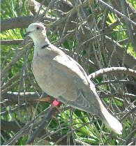 Picture of Turtle Dove