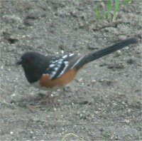 spotted male towhee