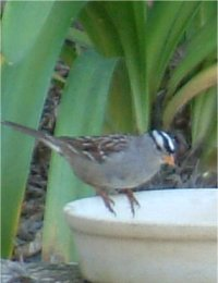 white crowned sparrow photo