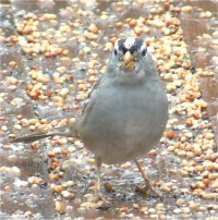 white crowned sparrow bird photo