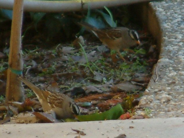 White Crowned Sparrow Bird Picture